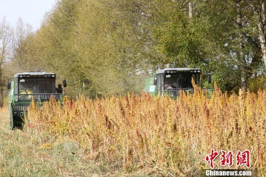 雷沃谷神玉米籽粒收割机助力山东三秋迎丰收